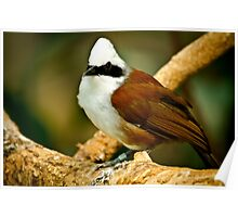 White Crested Laughing Thrush Poster