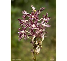 Hyacinth Orchid  Photographic Print