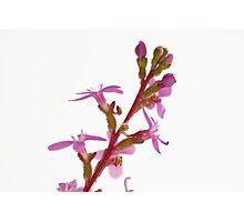 Grass Trigger Plant - Stylidium Graminifolium Photographic Print