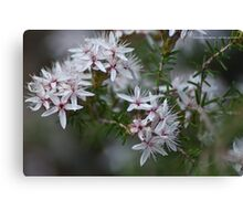 Calytrix tetragona Canvas Print