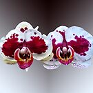 Maroon and White Phalaenopsis Orchids Side by Side by Susan Savad