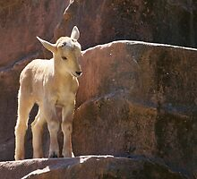 Baby Barbary Sheep by roger smith
