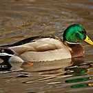 One Detailed Ducky by Tim Denny