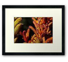 Red Kangaroo Paws Cluster Framed Print