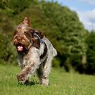 The Brown Roan Italian Spinone by heidiannemorris