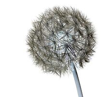 Dandelion Inverted by Phillip Shannon