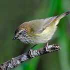 Striated Thornbill taken at Yea Wetlands in Victoria. by Alwyn Simple