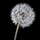 Dandelion on black by Phillip Shannon