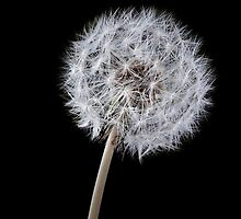 Dandelion on black by Phillip Shannon