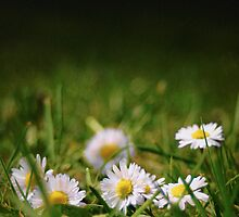 Daisys 01 by Phillip Shannon