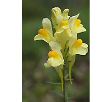 Yellow Toadflax Photographic Print