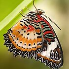 Lacewing butterfly by Stacey  Purkiss