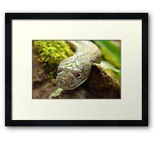 King Cobra Framed Print