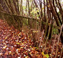 A leafy lane and a broken wooden fence. by ronsaunders47