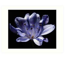 Blue African Lily flower Art Print