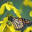 Monarch and Yellow Flowers by Rose Landry