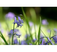 Blue Bell in wood Photographic Print