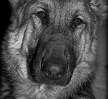 German Shepherd Portrait by Lou Wilson