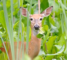 white-tailed doe by Christian Hunold