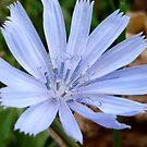 Wild Chicory by Jess Meacham