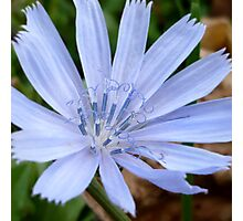 Wild Chicory Photographic Print