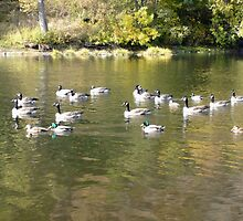 Ducks & Geese by Jess Meacham