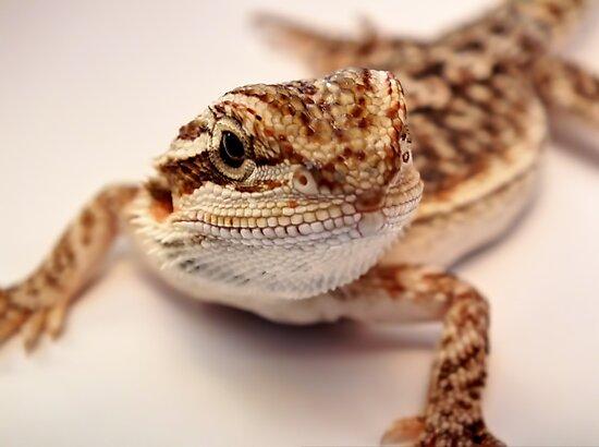 baby bearded dragon by clayton  jordan