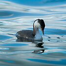 slavonian grebe 2 by Steve Shand