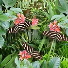 Zebra long wing butterfly trio by Irisangel