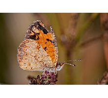 Dew Drenched Pearl Crescent Butterfly Photographic Print