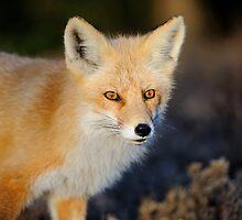 North American Mammals by Christian Hunold