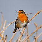 A Singing Robin by Dorothy Thomson