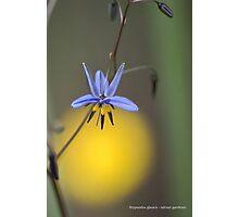 Stypandra glauca Photographic Print