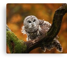 Barred Owl ~ Canvas Print