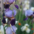Traditional Iris (Portait) - Backyard Beauty by TraceyLea