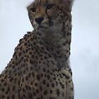 cheetah  by uptzphotography