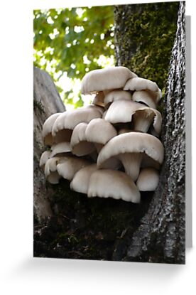Oyster Mushroom Cluster by Jess Meacham