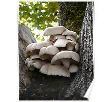 Oyster Mushroom Cluster Poster