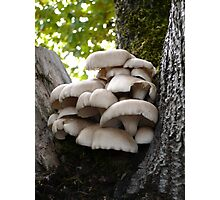 Oyster Mushroom Cluster Photographic Print