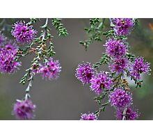Conimbla Wildflower Photographic Print
