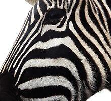 side zebra by uptzphotography