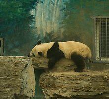 Sleepy Panda Cub by Nathan Barlow