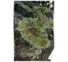 Cauliflower Lichen - Yellowknife, NWT, Canada Poster