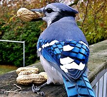 Blue Jay by JoeDavisPhoto