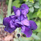 Iris by Mishka Góra