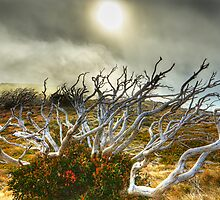 Burnt snowgum and regrowth by Kevin McGennan