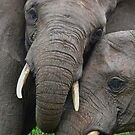 &quot;Just Married&quot; (Loxodonta africana) by DebbyTownsend