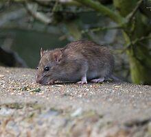 Common Brown Rat by Nigel Bangert