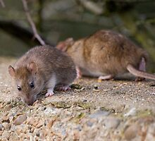 Common Brown Rats by Nigel Bangert