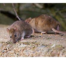 Common Brown Rats Photographic Print